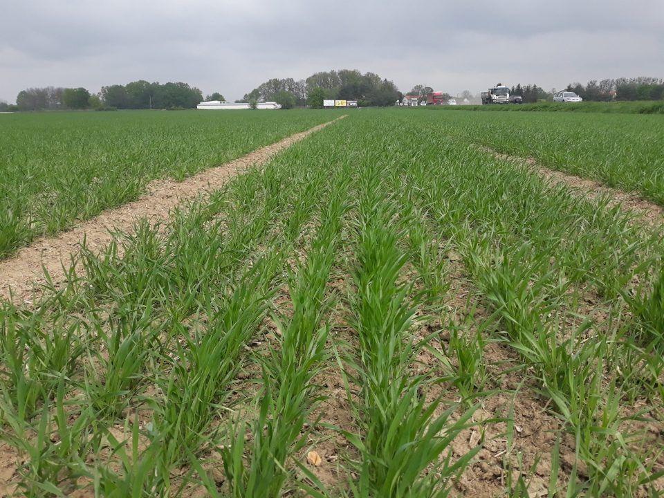 ochrona upraw - pszenica jara